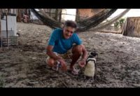 Patagonian Penguin Finds Second Home in Brazil