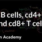 Review of B cells, CD4+ T cells and CD8+ T cells | NCLEX-RN | Khan Academy