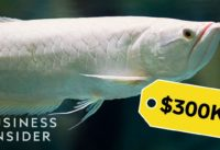 Why Dragon Fish Are So Expensive   So Expensive