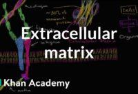 Extracellular matrix   Structure of a cell   Biology   Khan Academy