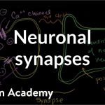 Neuronal synapses (chemical) | Human anatomy and physiology | Health & Medicine | Khan Academy