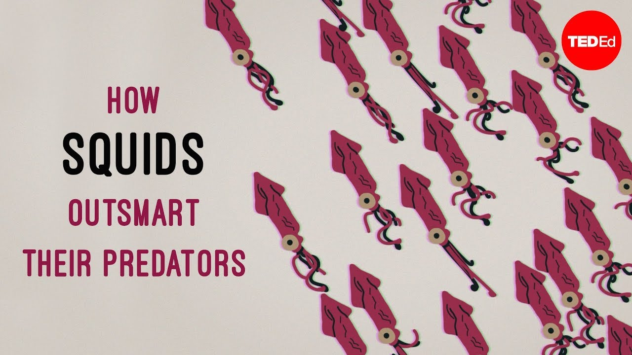 How squids outsmart their predators - Carly Anne York