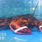 Why Lobster Is So Expensive   So Expensive