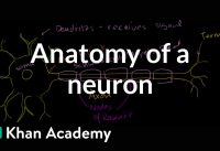 Anatomy of a neuron | Human anatomy and physiology | Health & Medicine | Khan Academy